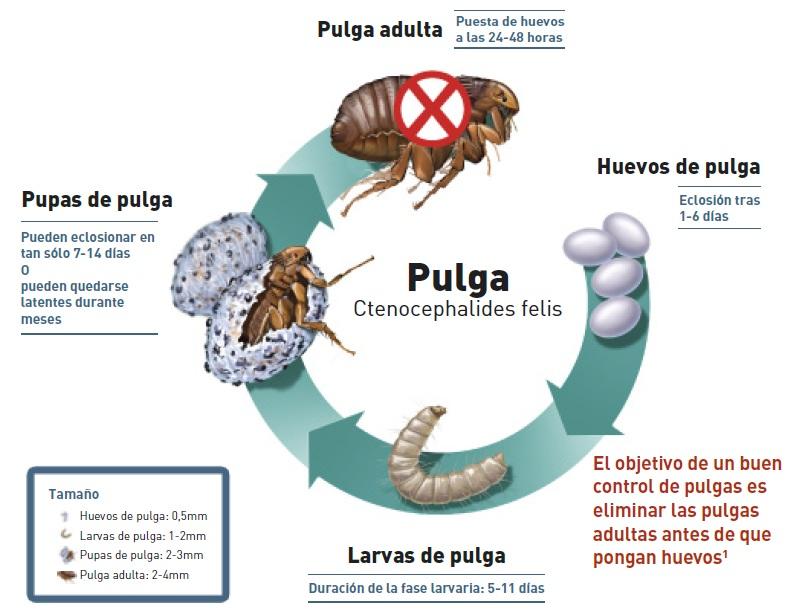 Nuestros consejos clinica veterinaria la guardia - Como quitar pulgas en casa ...